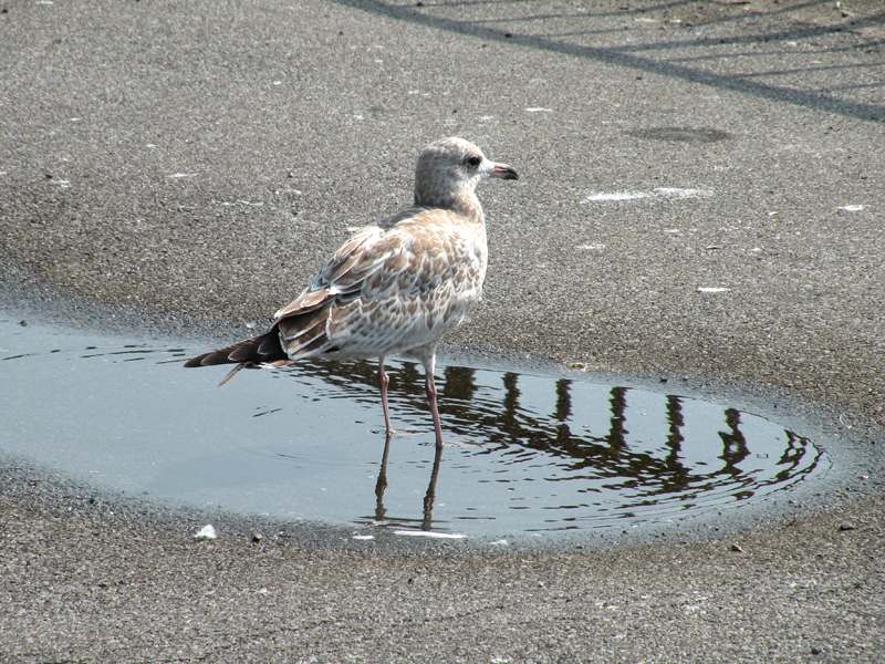 DSCN5665 [2010aug10]: gull standing in puddle on reflected railing